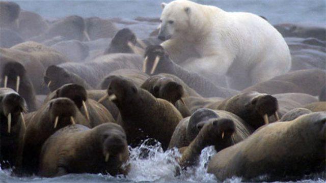 Drawn polar  bear eats Is giant a Watts land