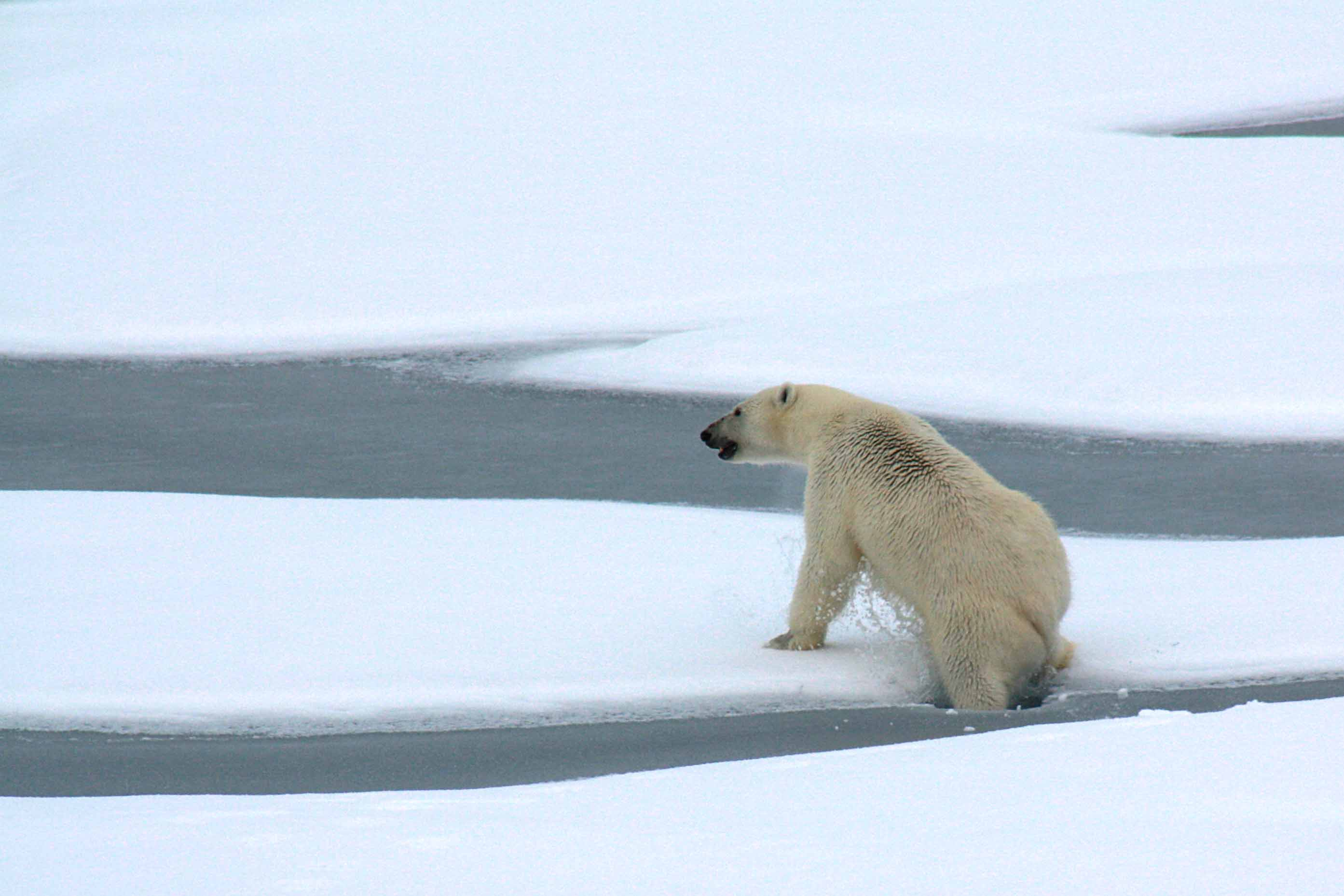 Drawn polar  bear eats Out eat ice early on