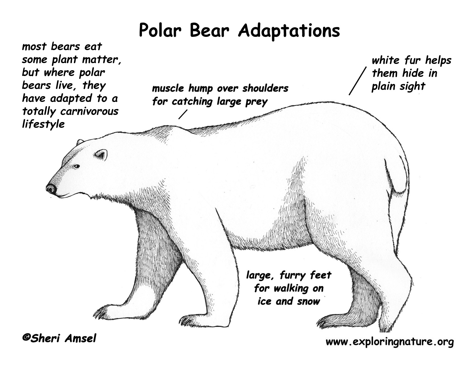 Drawn polar  bear educational Hi Adaptations Polar Bear Poster