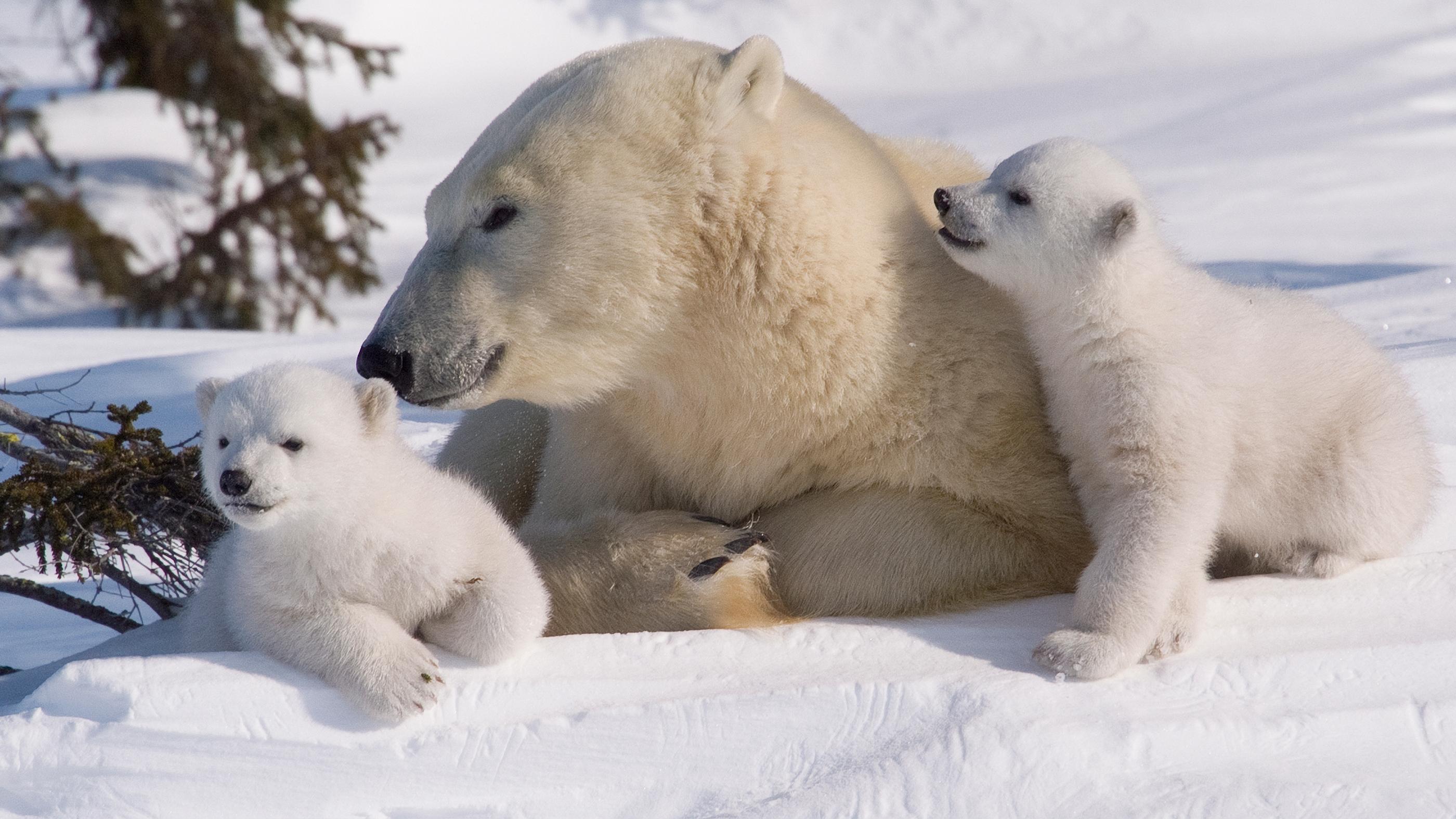 Drawn polar  bear educational Bear Kids small Bay Canada