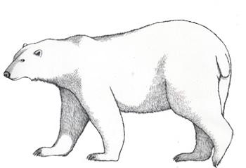 Drawn polar  bear educational (Polar) Polar) Bear