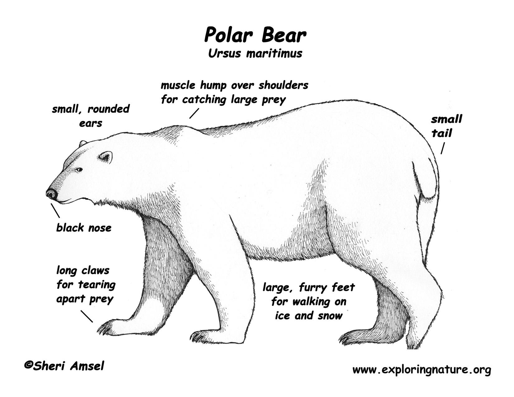 Drawn polar  bear educational Bear Bear bear Bears