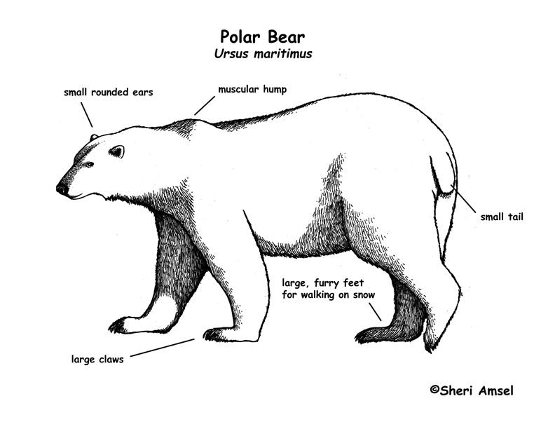 Drawn polar  bear educational Bear  January bear and