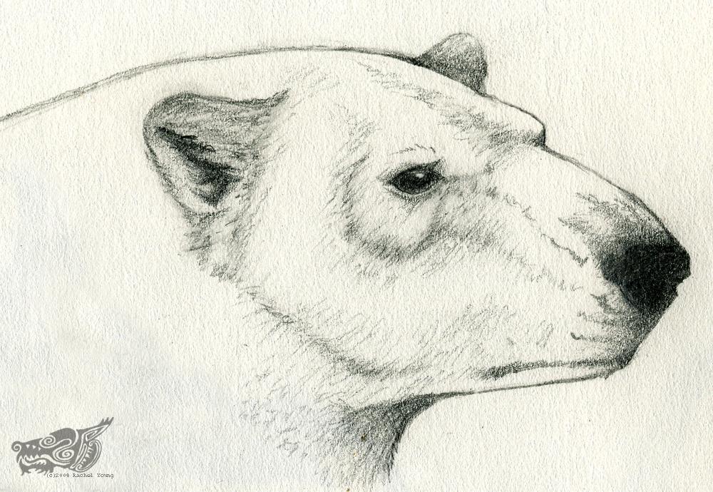 Drawn polar  bear face By Polar rgyoung by Sketch