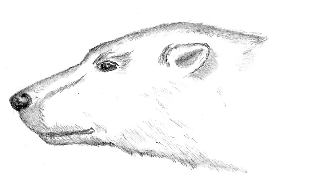 Drawn polar  bear head Matt polar Laine polar head