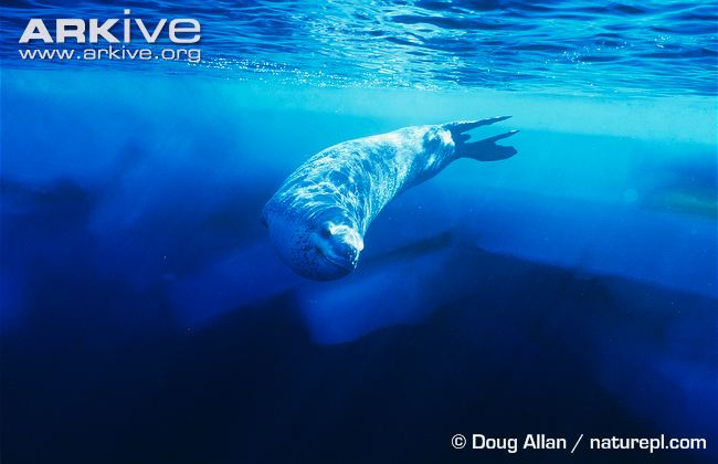 Drawn polar  bear leopard seal #6
