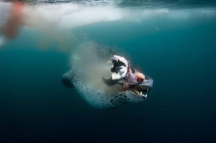 Drawn polar  bear leopard seal #15
