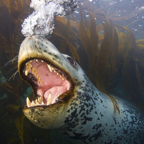 Drawn polar  bear leopard seal #3