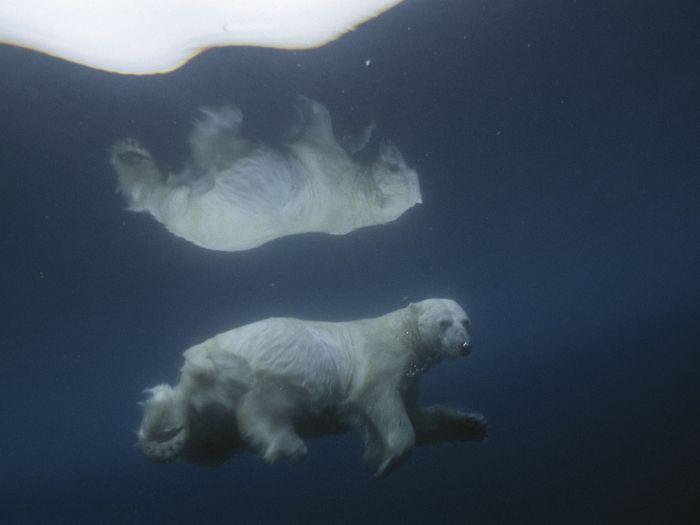 Drawn polar  bear leopard seal #2