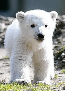 Drawn polar  bear little bear Knut Knut the psycho? What