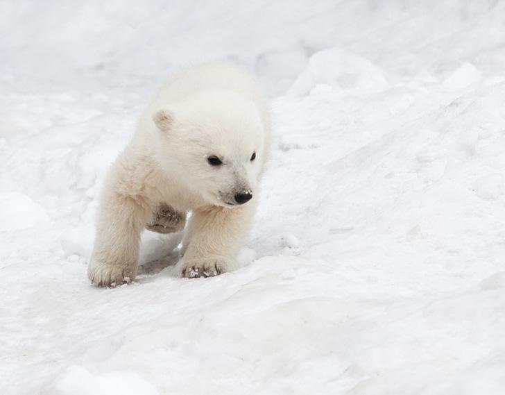 Drawn polar  bear little bear Polar Unveils the And Bear