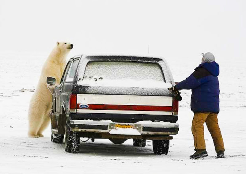 Drawn polar  bear man eater Saves Bear Truck Man Eating