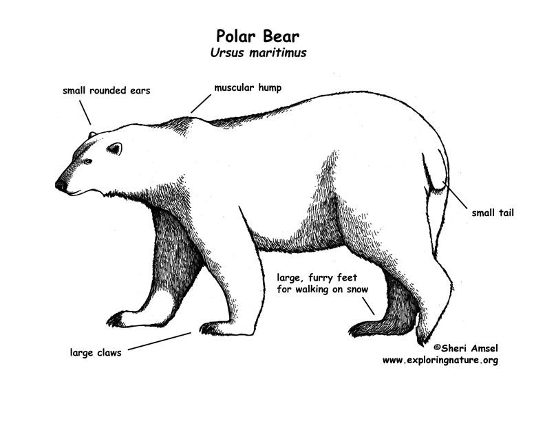 Drawn polar  bear man eater Polar) (Polar) Bear