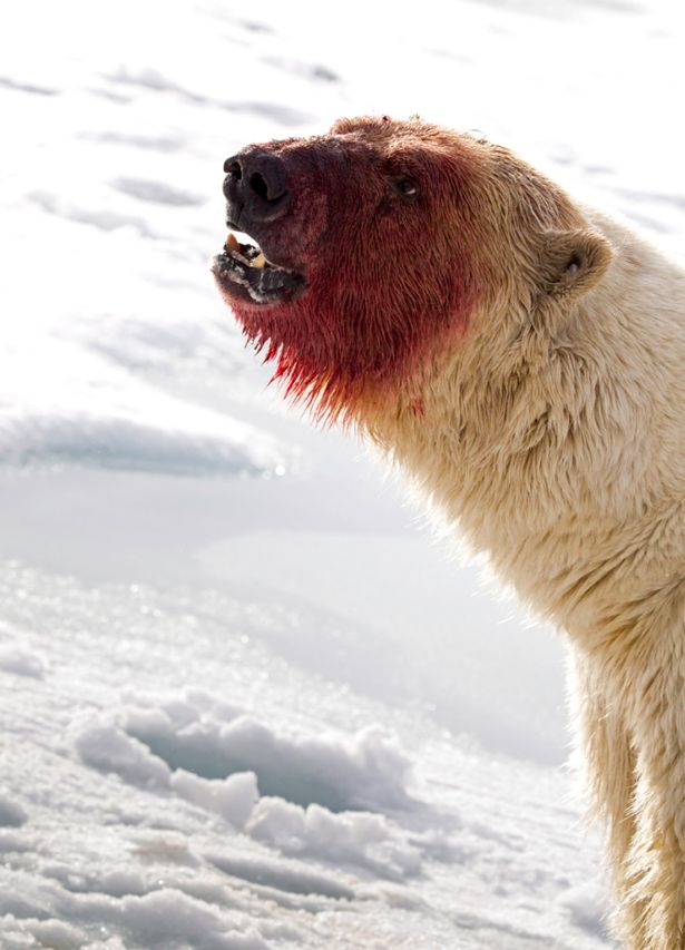 Drawn polar  bear man eater After — its to messy