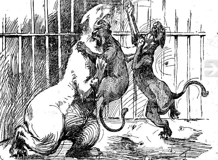 Drawn polar  bear man eater Lion 1 Grizzly History maul