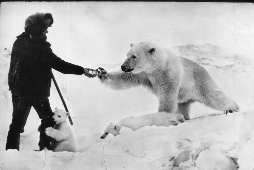 Drawn polar  bear man eater Bear their 1950 this polar