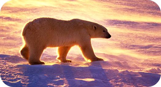 Drawn polar  bear native Bear Polar Polar Facts Bear