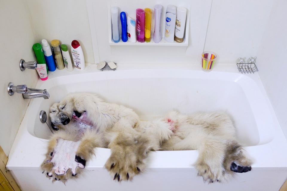 Drawn polar  bear native End? Could bears Polar Photos