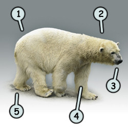Drawn polar  bear one Cartoon  bear a polar