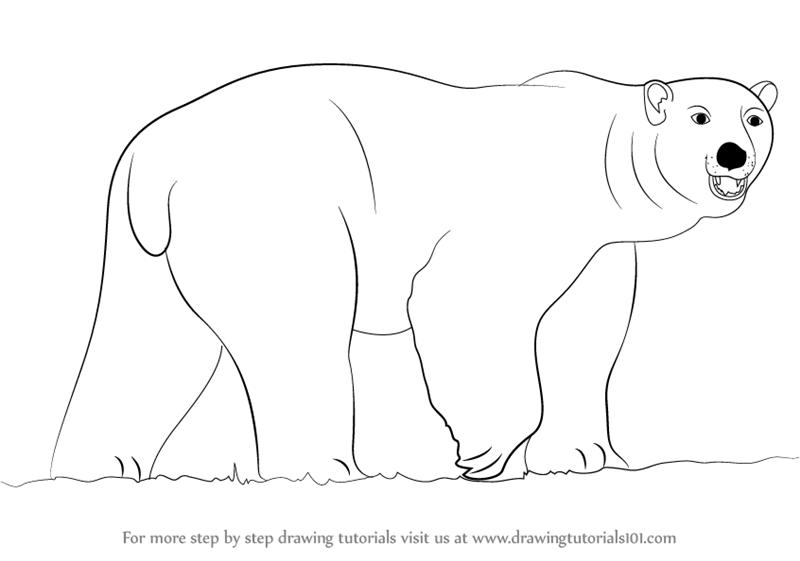 Drawn polar  bear pencil drawing How a Learn Draw