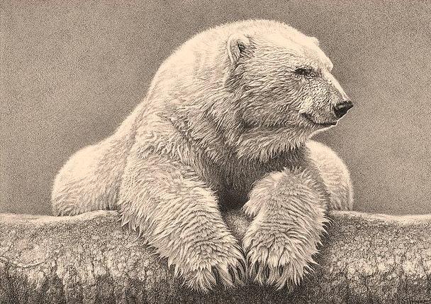 Drawn polar  bear pencil drawing Detailed of bear drawing OF