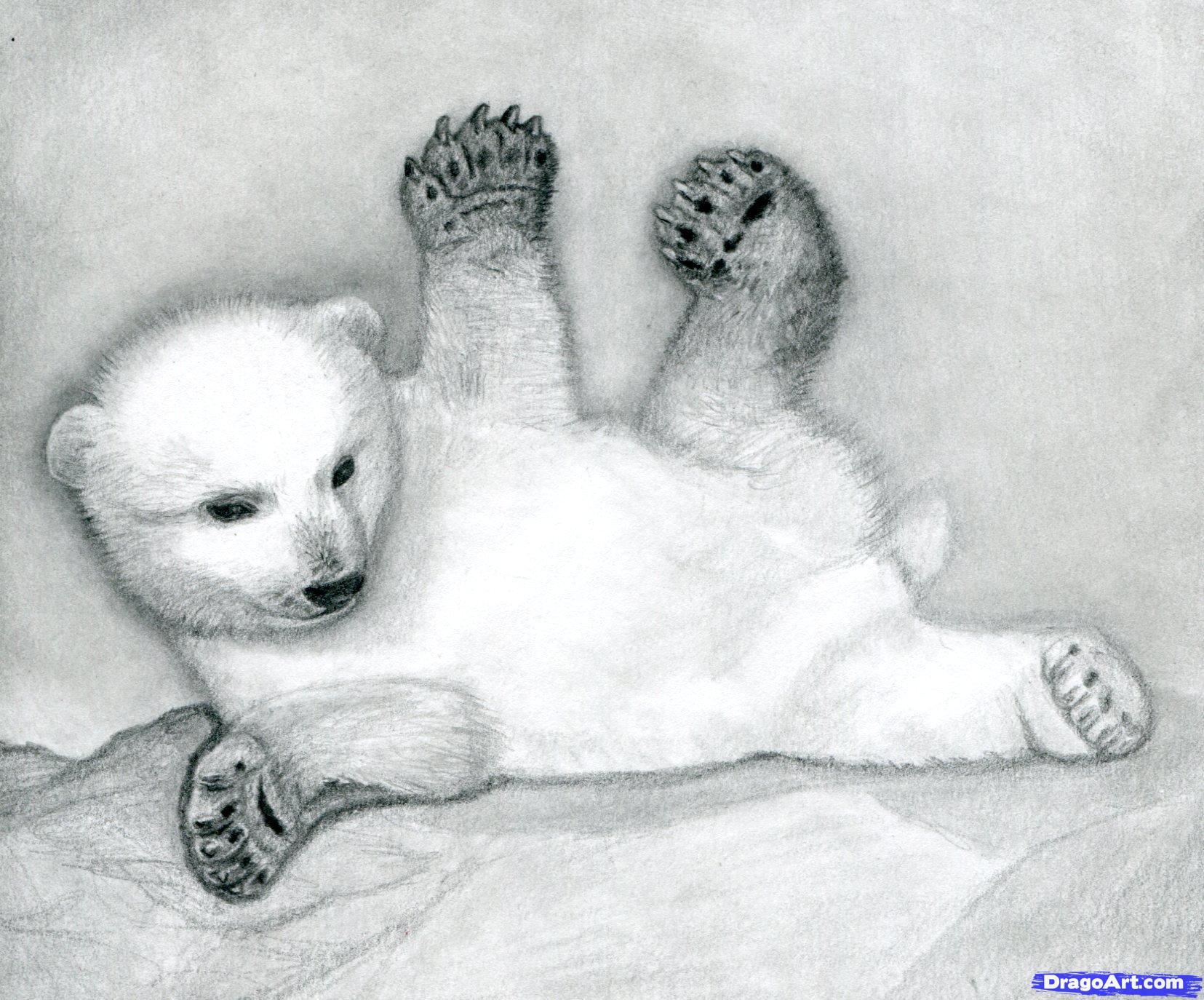 Drawn polar  bear pencil drawing How  a Step cub
