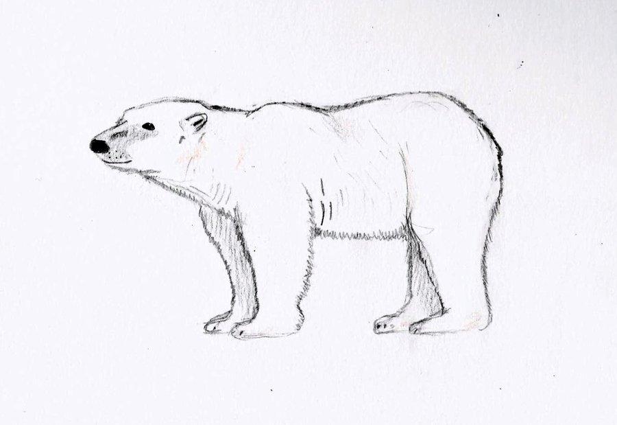 Drawn polar  bear pencil drawing Polar and photo#24 cubs And