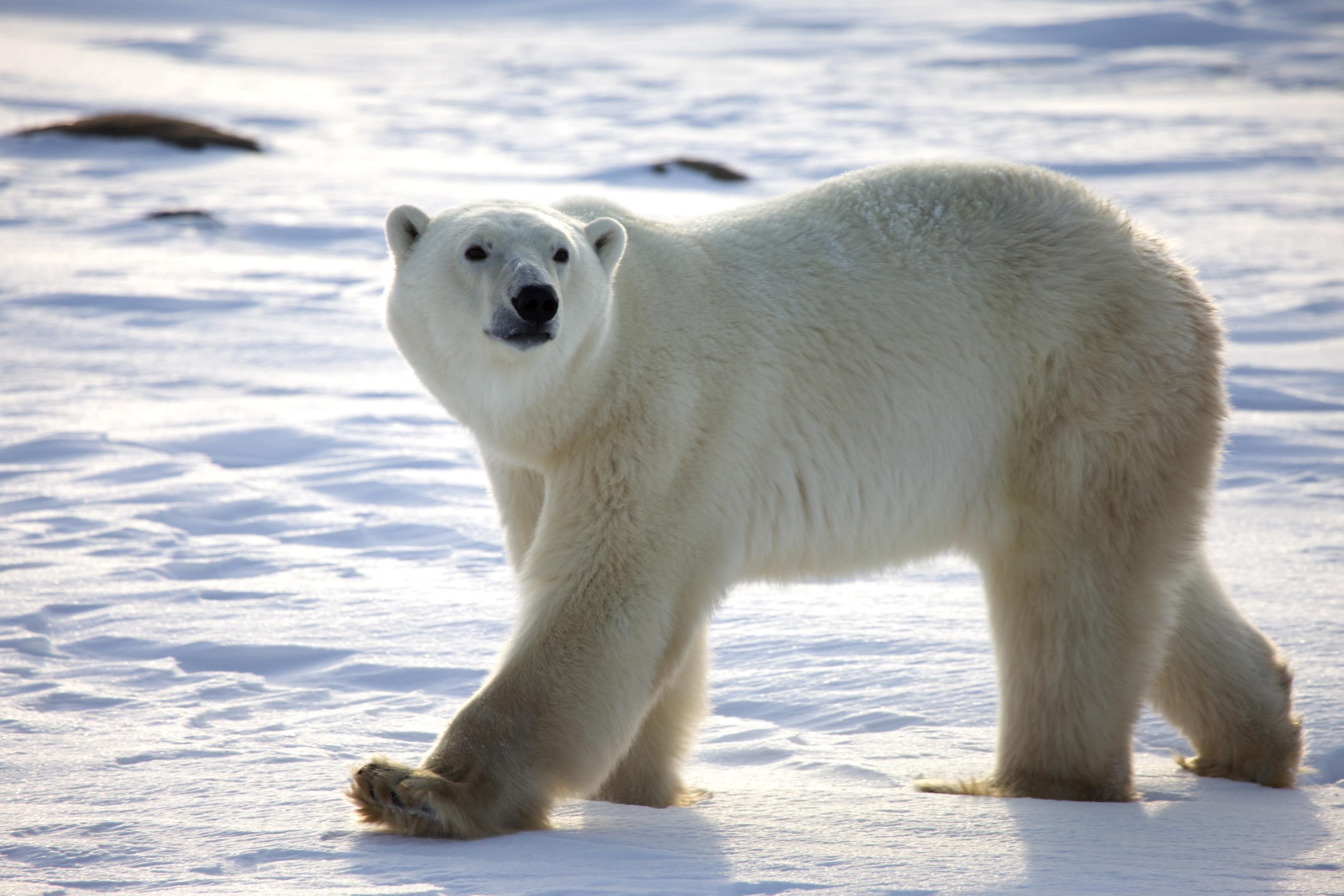Drawn polar  bear pola Are Polar Bears Endangered Bears