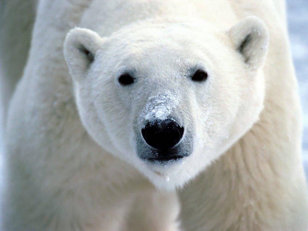 Drawn polar  bear pola Do they Albino Polar Bear
