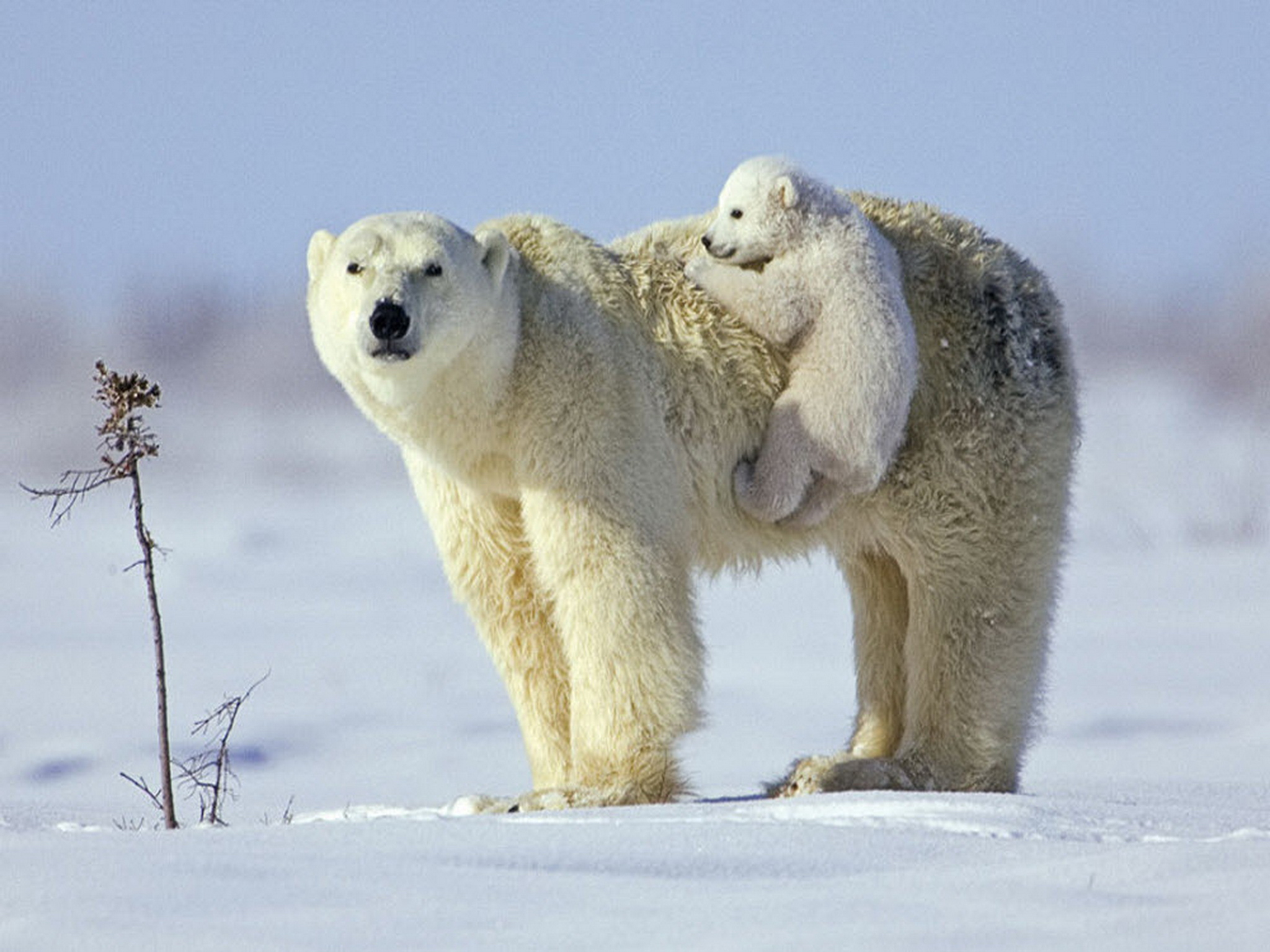 Drawn polar  bear real baby #10