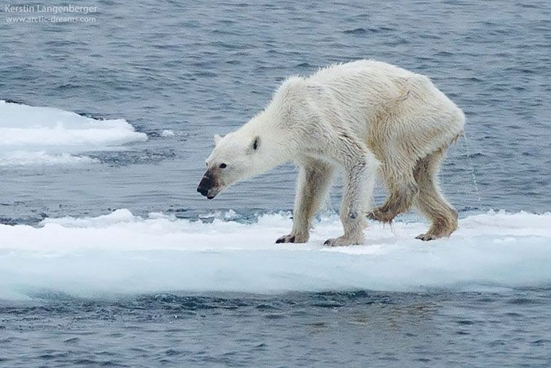 Drawn polar  bear sad #10