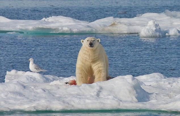 Drawn polar  bear savage #10