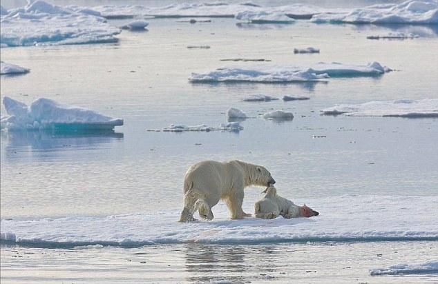Drawn polar  bear savage #3