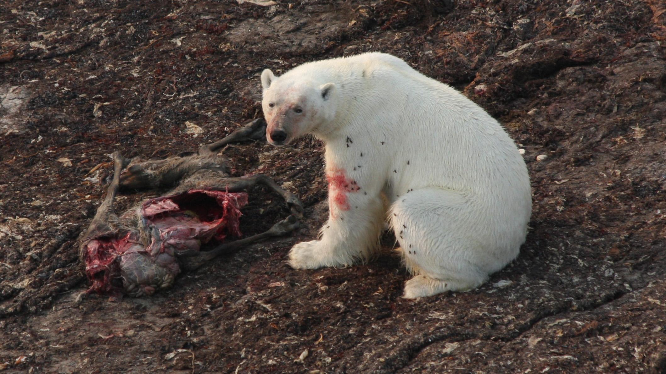 Drawn polar  bear savage #11