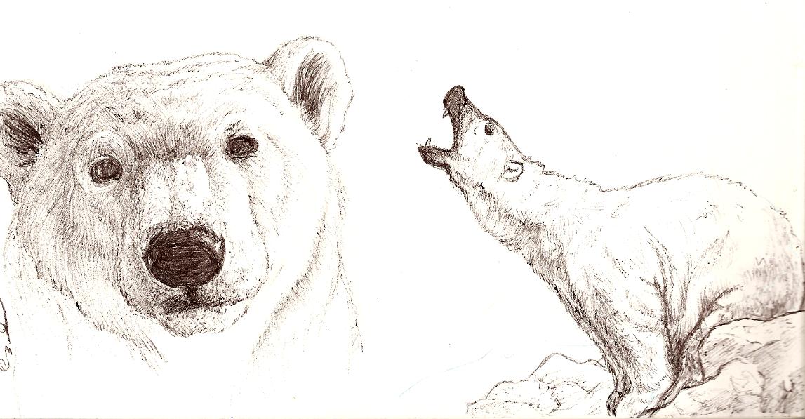 Drawn polar  bear sketch Polar drawing Drawing cubs bear