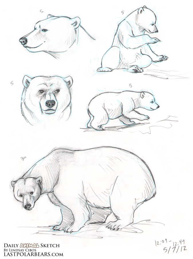 Drawn polar  bear sketch Drawing how a Guides how