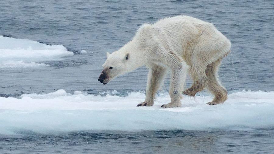 Drawn polar  bear skinny Polar polar Bear this Skinny