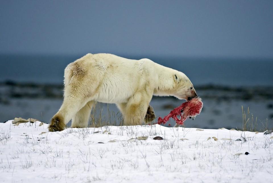 Drawn polar  bear skinny Of cub the The head
