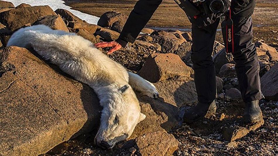 Drawn polar  bear skinny Have to warming may Svalbard