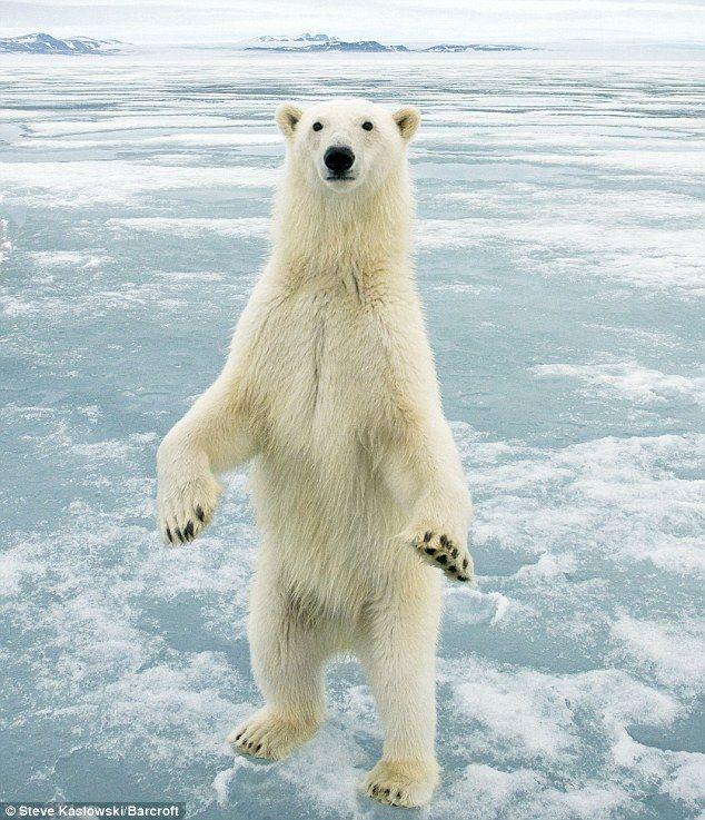 Drawn polar  bear skinny Bear to here Polar looks