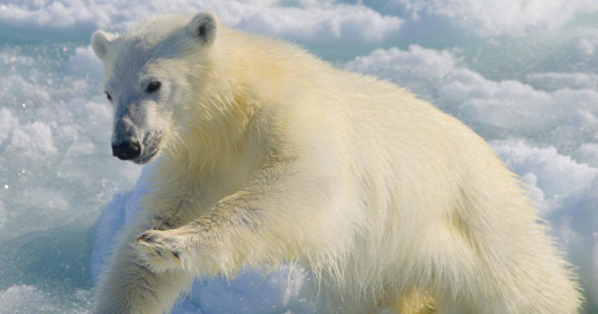 Drawn polar  bear skinny Svalbard Horribly Photo From In