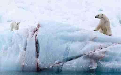 Drawn polar  bear skinny Ahead Arctic Signals Tragedy Sickly