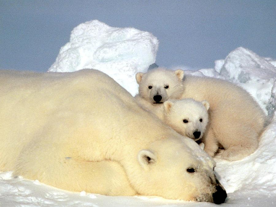 Drawn polar  bear skinny A New Plight Public The