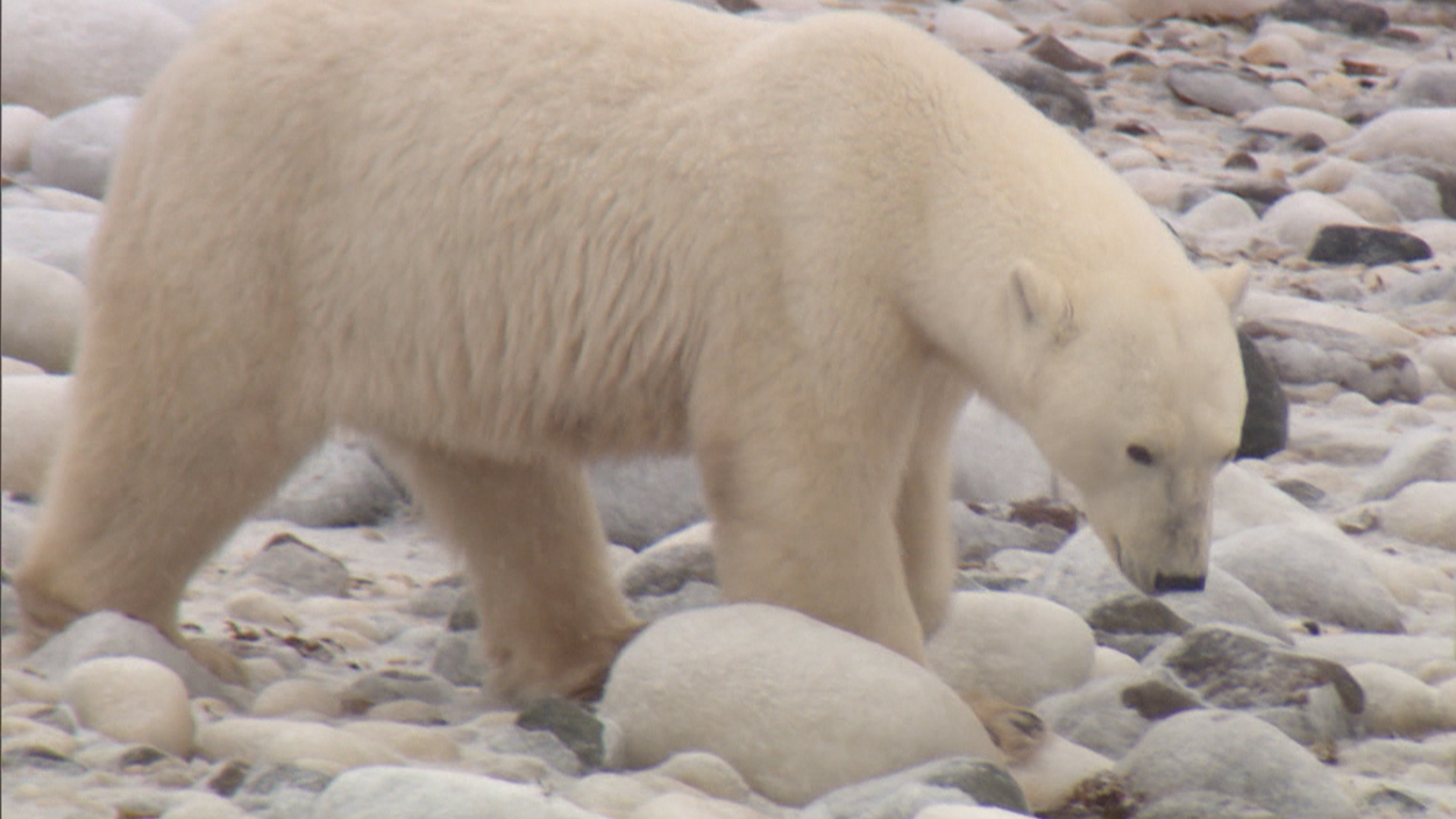 Drawn polar  bear skinny NBC Climate Change Don't Just