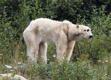 Drawn polar  bear skinny Challenging the (160 km Bay