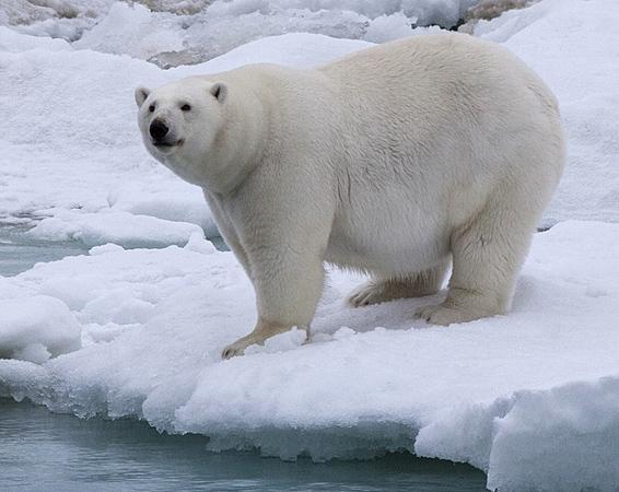 Drawn polar  bear skinny Walk The Methods A Polar