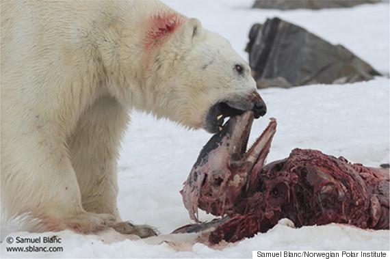 Drawn polar  bear skinny Langenberger's  In Kerstin Polar