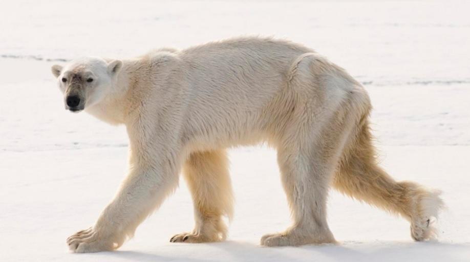 Drawn polar  bear skinny Robertscribbler Record Climate that Diving