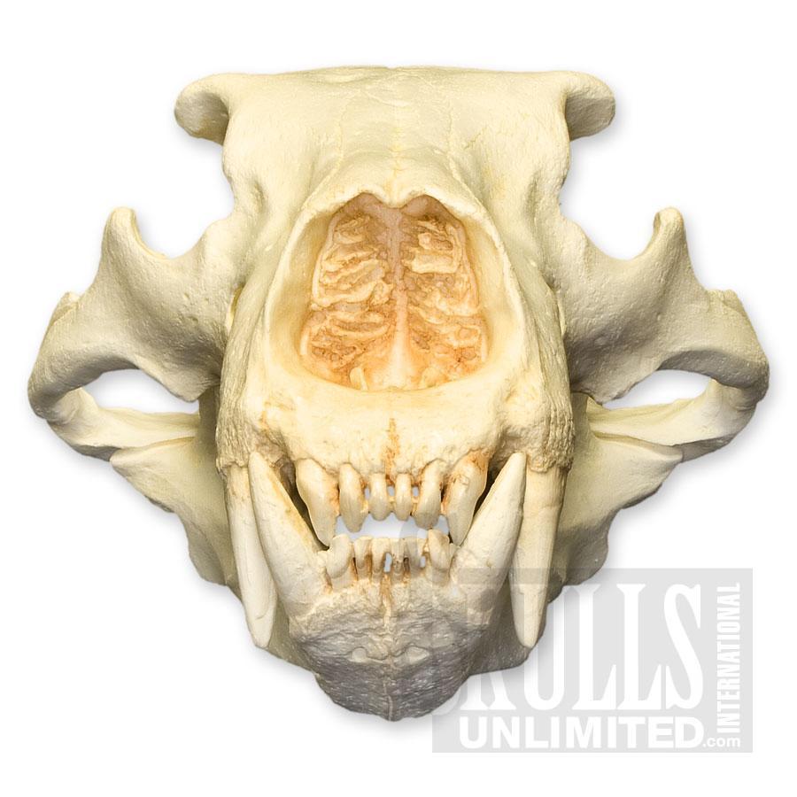 Drawn polar  bear skull Bear Polar Polar Skull (Ursus