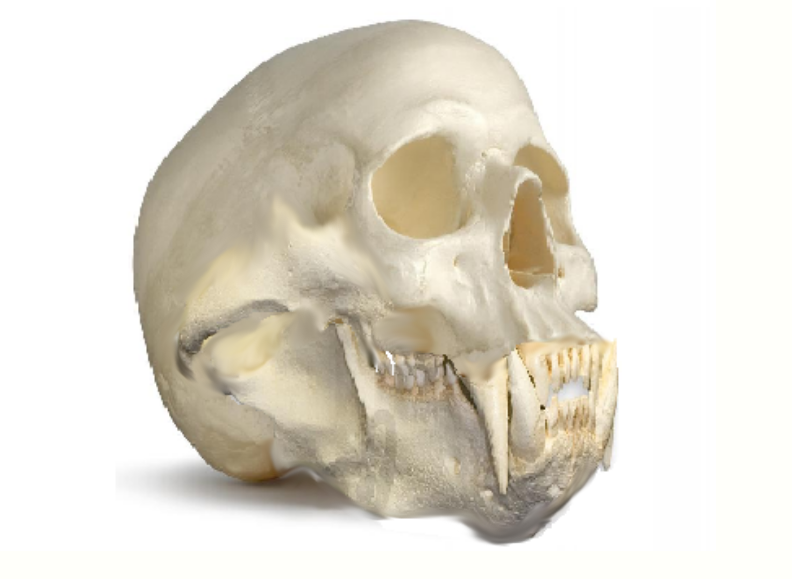 Drawn polar  bear skull Photo#2 Polar drawing skull Bear